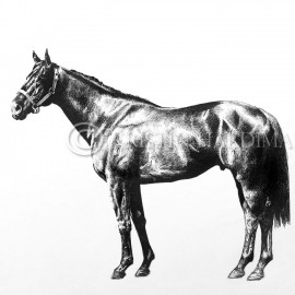 Lonhro – pen and ink equine art portrait